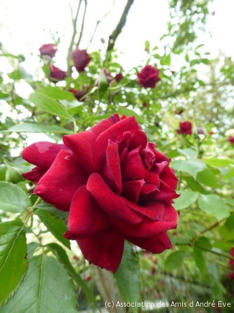 Rosa 'Red Parfum', (photo de Paul Lefebvre)