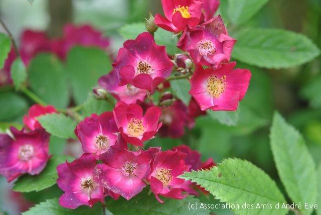 rosa 'Mademoiselle des Minuits'
