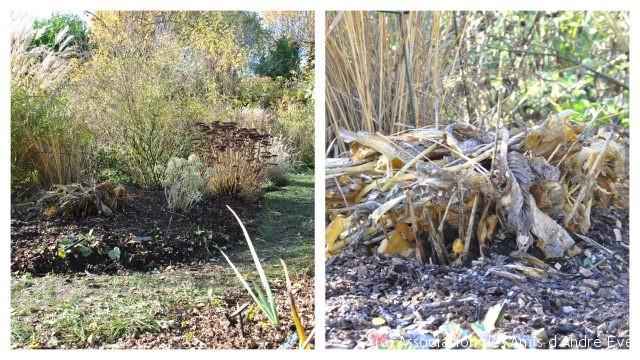Didier nous a montré comment il protège ses hosta pour l'hiver: simplement en mettant sur la souche toutes les feuilles coupées.