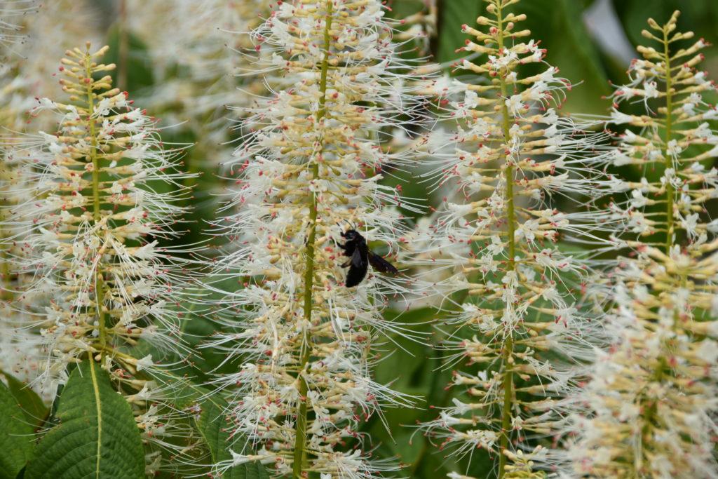 aesulus parviflora (marronnier nain)